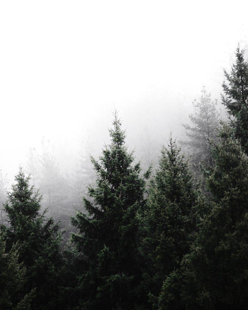 Sapins dans le brouillard.